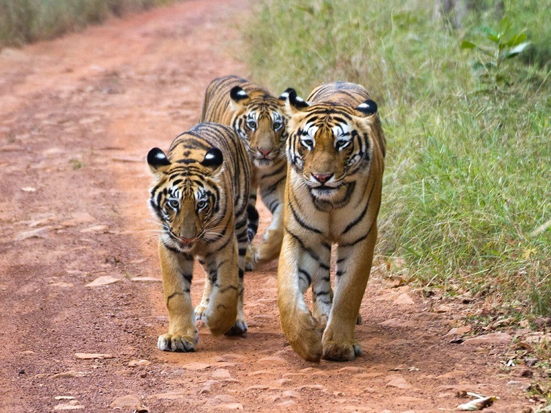Tadoba, Maharashtra tour with TripDezire for booking call at 999 111 9350